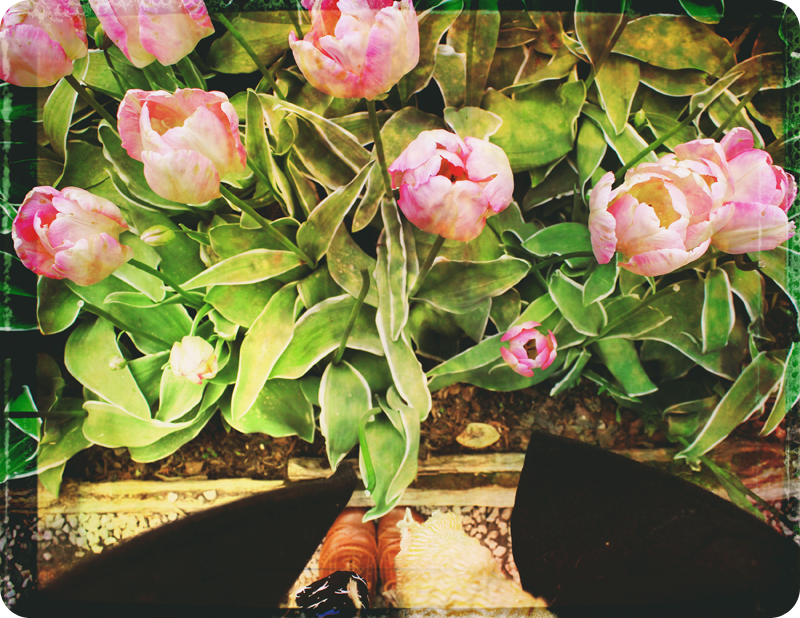 {layout} tulips! | photo background