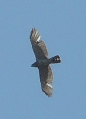 harrier(1.0), animal(1.0), bird of prey(1.0), falcon(1.0), wing(1.0), vulture(1.0), buzzard(1.0), bird(1.0), flight(1.0),