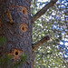 Woodpecker holes (Tom Mills)