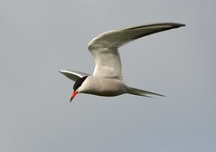 Holdercommon tern