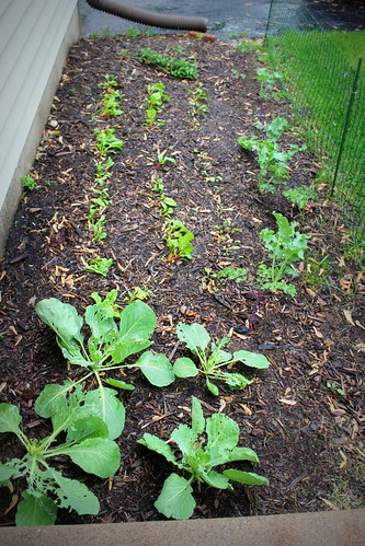 20130517. Front landscaping = future food.