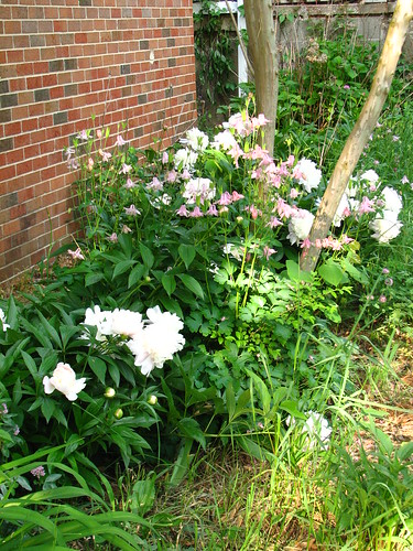 peonies and columbine
