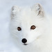 Portrait of an arctic fox by nemi1968