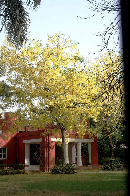 City Season – The Yellow Amaltas, Prithviraj Marg