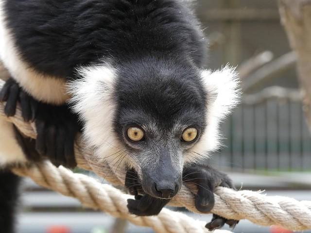 Vari, Zoo Magdeburg