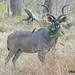 Greater Kudu with Oxpecker , Liwonde NP, Malawi