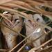 A pair of Barn owls by charlescpan