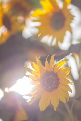 canon6d canon135mmf2 sunflower taanayel bekaa lebanon flower