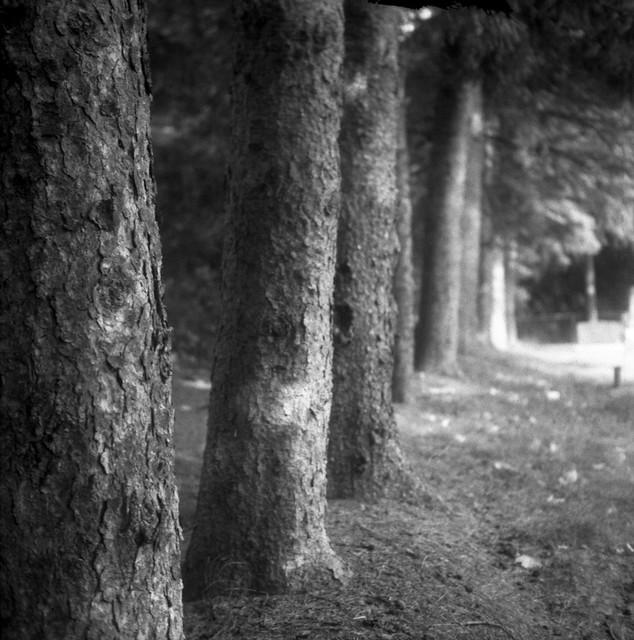 Trees - Pontypool cemetery, Ontario