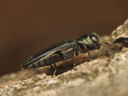 Agrilus tibialis ホソアシナガタマムシ
