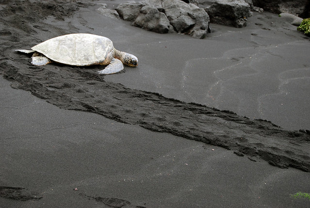 Sea Turtle on Punalu'u Beach