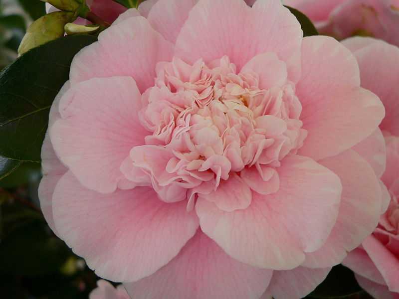 Camellia japonica 11