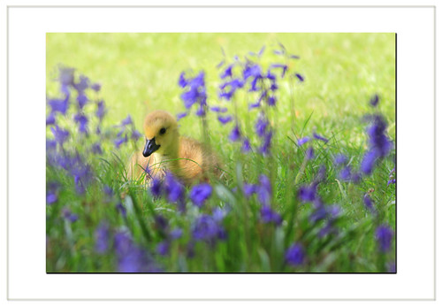 Bluebells. Goslings and Cream tea's...