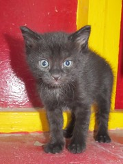 domestic long-haired cat(0.0), british shorthair(0.0), nebelung(0.0), manx(0.0), russian blue(0.0), domestic short-haired cat(0.0), animal(1.0), kitten(1.0), small to medium-sized cats(1.0), pet(1.0), black cat(1.0), chartreux(1.0), bombay(1.0), cat(1.0), korat(1.0), carnivoran(1.0), whiskers(1.0),