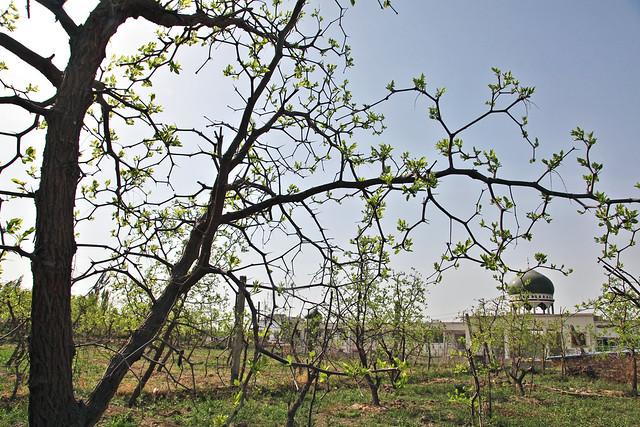 Jujube trees in Kumul (Hami) ハミのナツメ畑