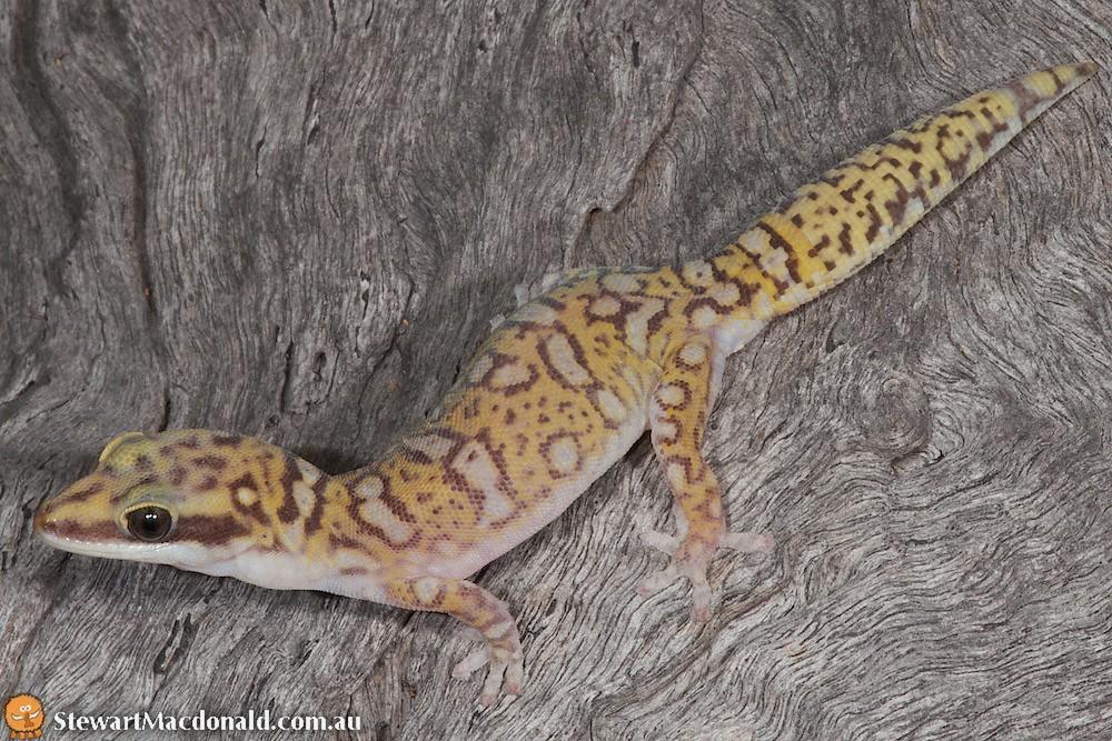 Northern spotted velvet gecko (Oedura coggeri)