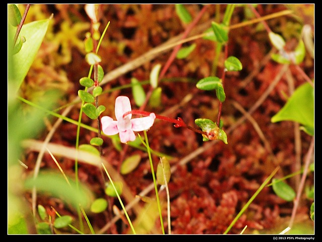2013-06-07-P6073039-Small cranberry (Vaccinium oxycoccos)