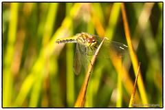 Black Darter dragonfly (f)