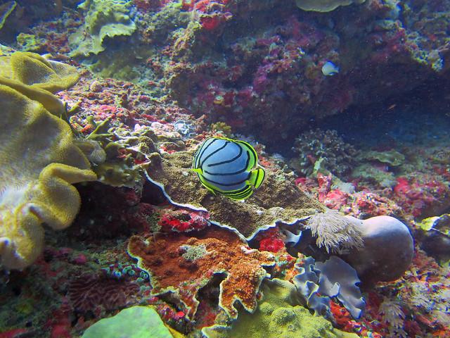Meyer's Butterflyfish, Canon POWERSHOT G16