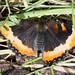 Small photo of Milbert's tortoiseshell Aglais milberti