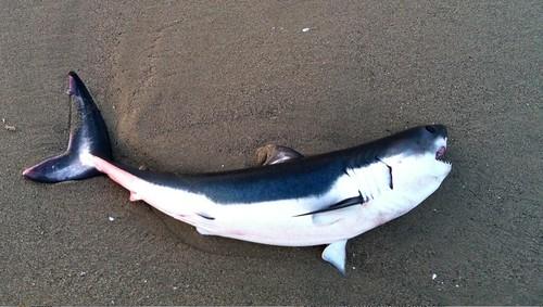 Venice Beach Shark