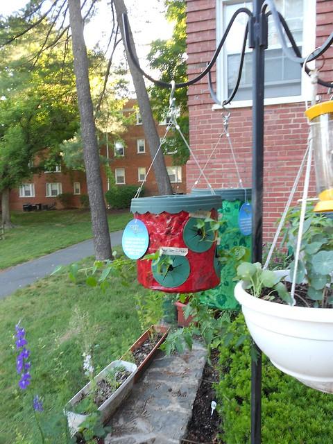 Hanging Pepper Pot -- 4 June 2013