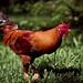 Rooster Alarm by www.leonardocarneirofotografia.com