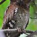 Sokoke Scops Owl by Rainbirder