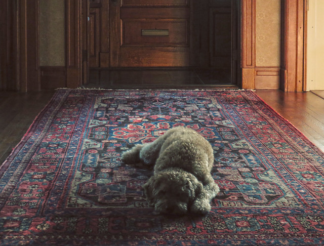 Bucky on the rug, 22 Parker (2016)