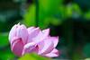 Photo:Lotus flower By t.kunikuni