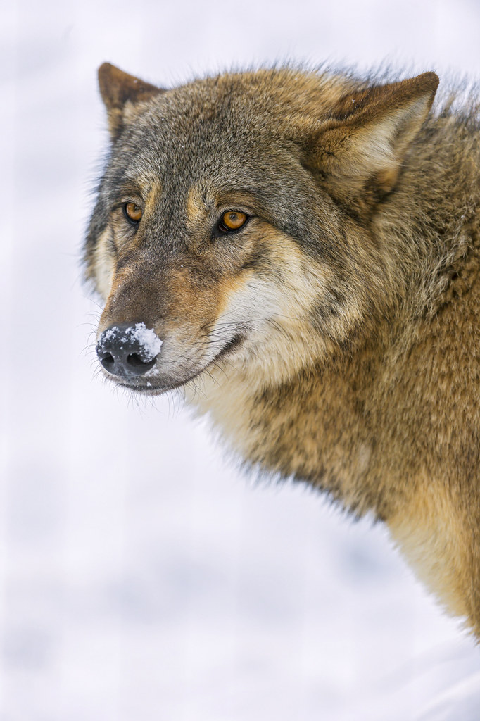 Wolf with snow on the nose