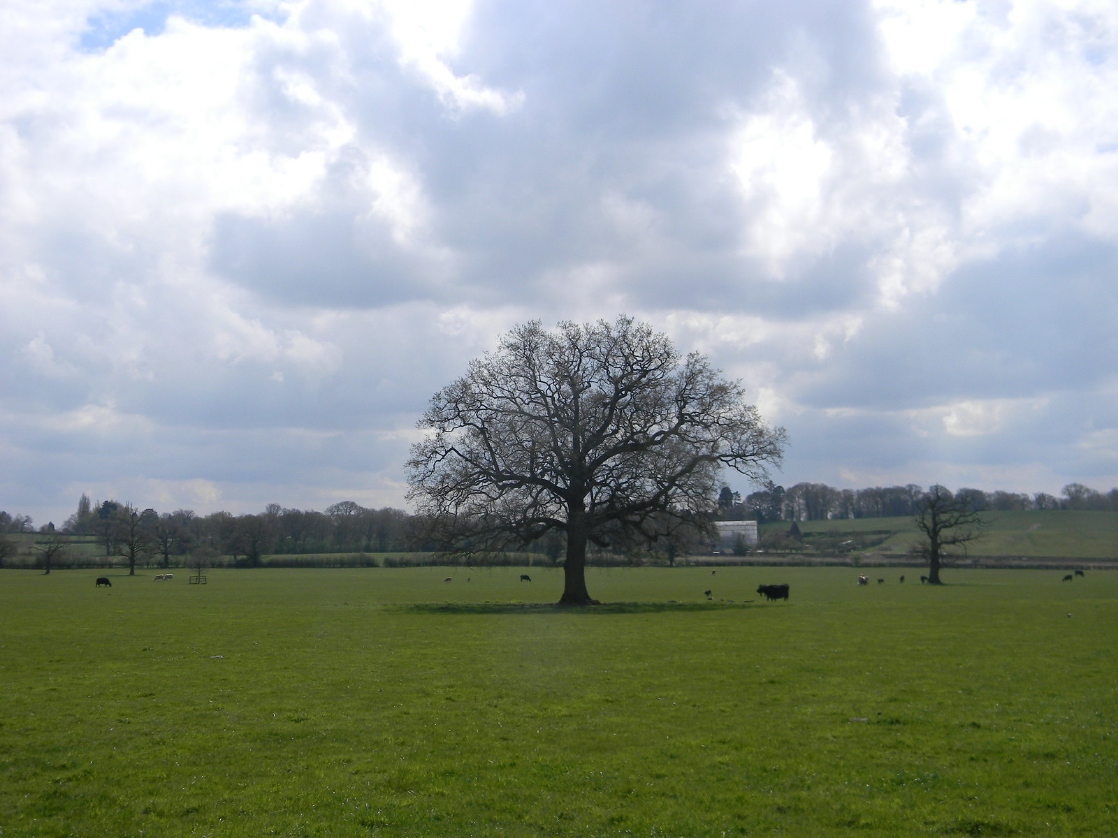Tree with cow Hurst Green to Wetherham