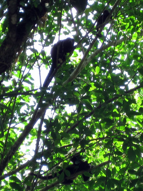 Many howler monkeys