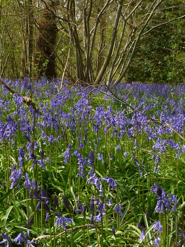 Bluebells near Fordwich