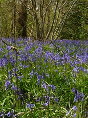 Bluebells near Fordwich