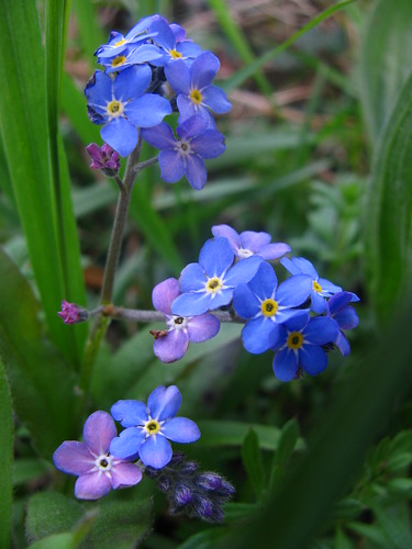 Colours of Forget-me-Nots