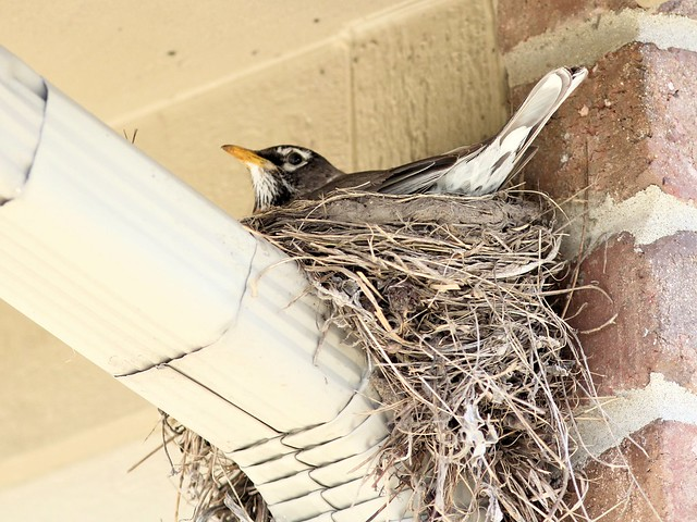 American Robin on nest 20130505