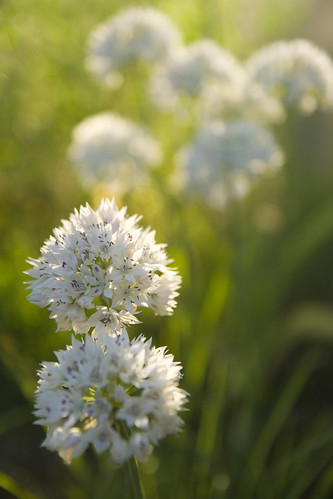Allium Graceful