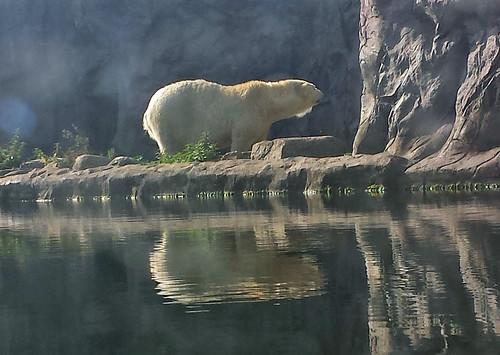 2013/10/07 - 11:48 - ホッキョクグマ Polar Bear