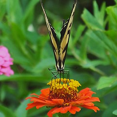 Papilio glaucus--Eastern Tiger Swallowtail