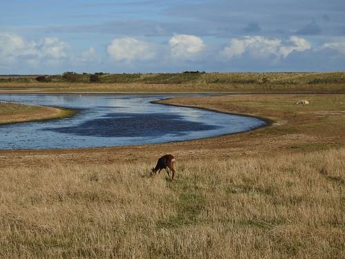 Roe Deer at Kilnsea Wetlands near Easington in East Yorkshire, England - October 2016