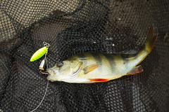 Caught perch on spinners at nets