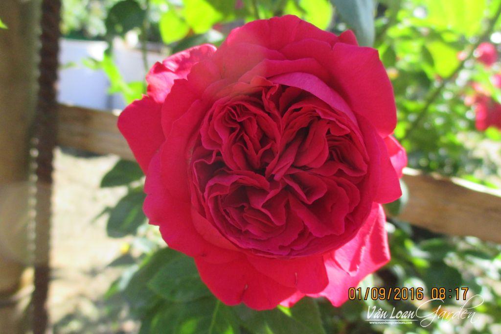 hoa hong leo red eden rose 1111 (2)-vuonhongvanloan.com