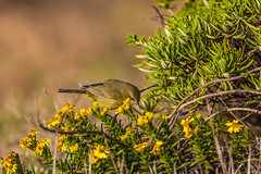 Orange-crowned Warbler in Channel Islands National Park