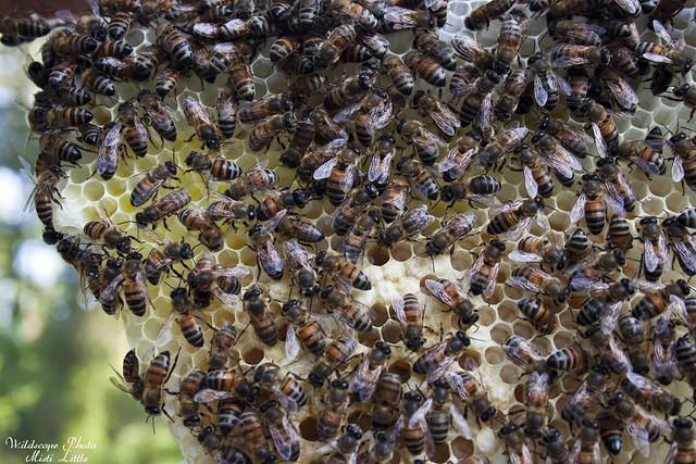 bees_comb3