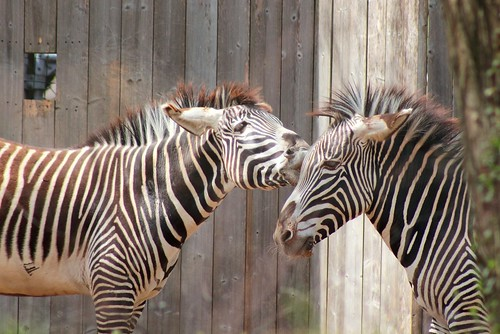 A Zebra Smooch