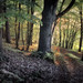 beech forest by Hans Zitzler
