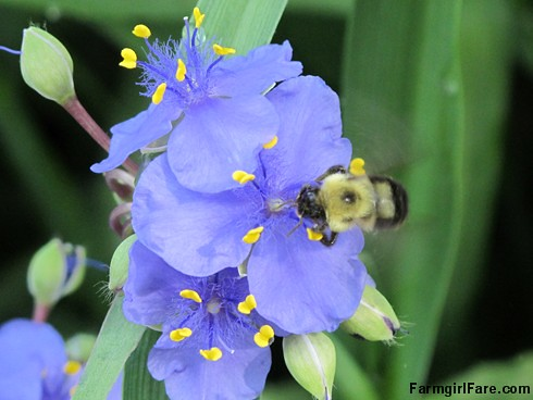 (29-24) Busy bee on the spiderwort - FarmgirlFare.com