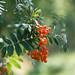 rowan berries by Sabinche