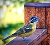 Grosbeak on the deck rail, Clark, Colo., 2016